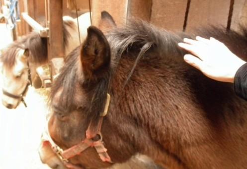 撫でてみました。木曽馬はサラブレッドとは違う体格ですが、それでも大きくがっしりした感じで、しかものんびりして愛嬌のある感じです。