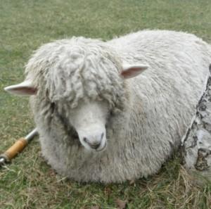 羊やヤギも放牧されていて、自由に触ることが出来ます。