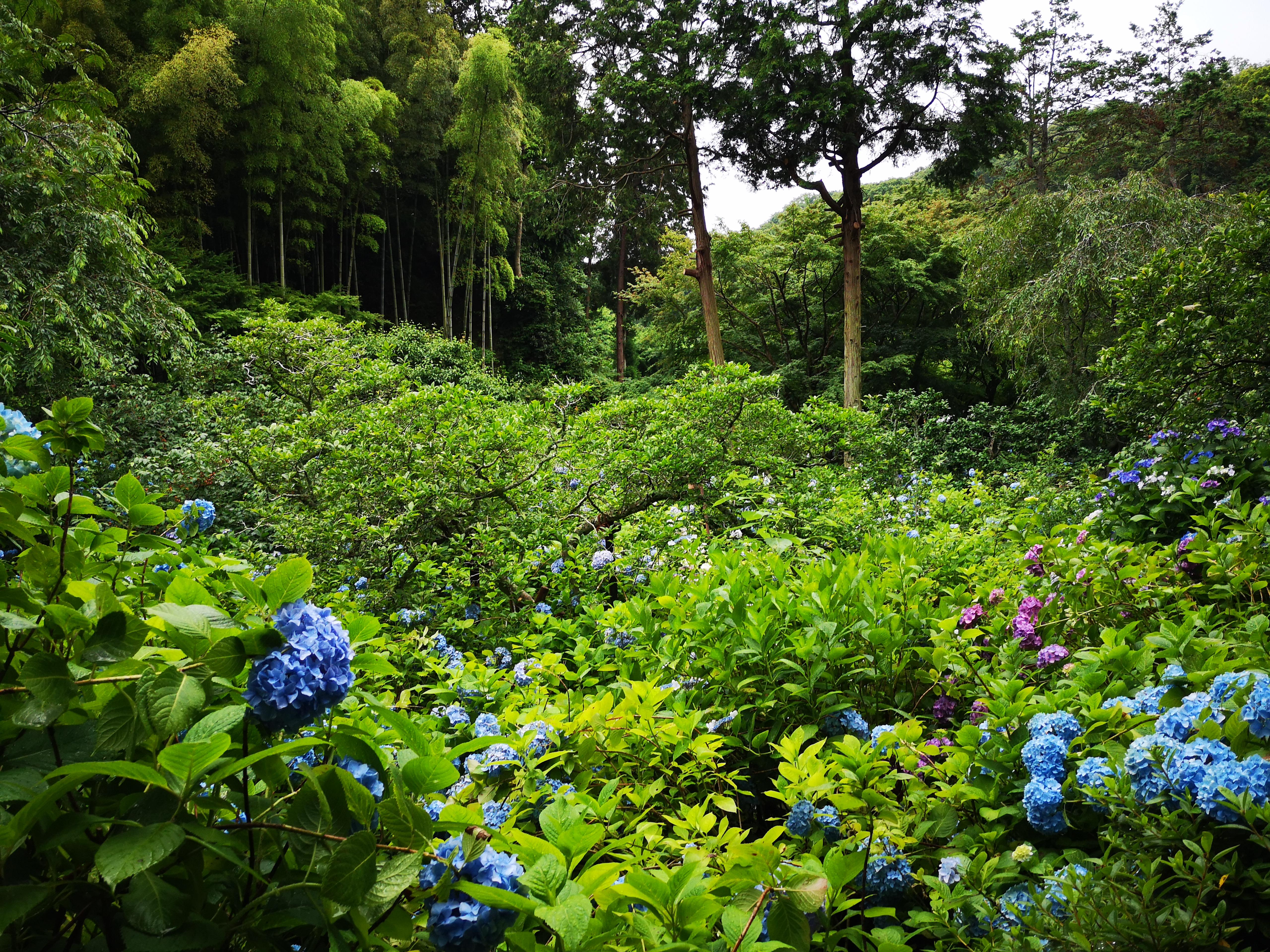 あじさいの見頃としては今(6月中旬)がピークで、庭園の花菖蒲はもう見ることが出来ませんでしたし、一部枯れ始めているので興味のある方はお早めに(クリックで原寸)