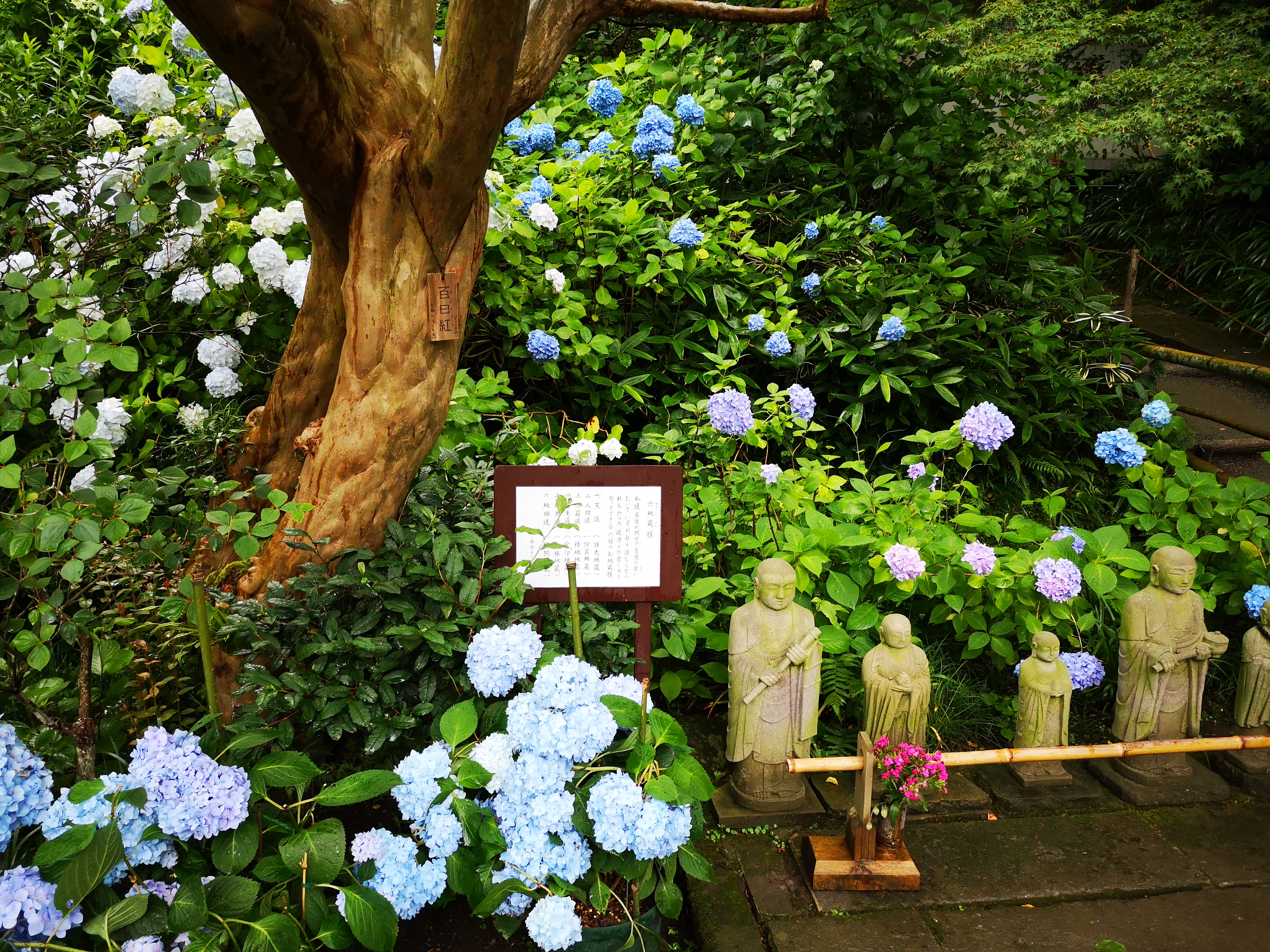 あじさい寺で有名ですが、あじさいを植えたのは鎌倉時代…ではなく昭和の頃だとか。(クリックで原寸)